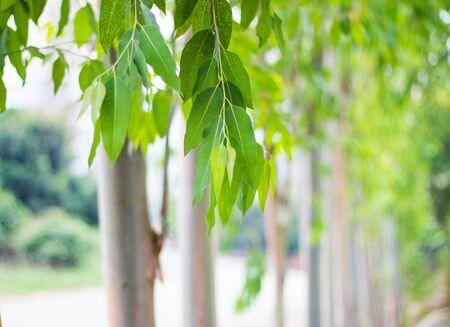 Eucalyptus leaves. Eucalyptus tree, Nature baclground