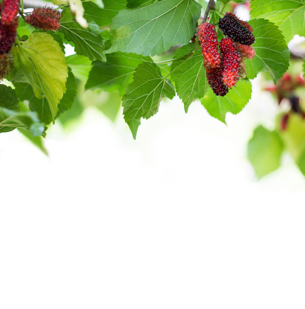 Fresh green Mulberry leaves isolated on white background. Mulberry leaf and white empty space. Mulberry fruit. mulberry on branch Stock Photo