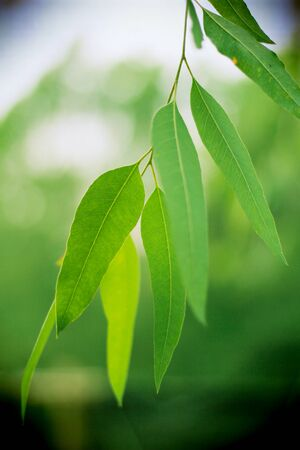 Eucalyptus leaves. Eucalyptus tree, Nature baclground