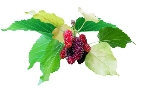 Mulberry fruit. mulberry on branch. Mulberry fruit isolated on white background. Stock Photo