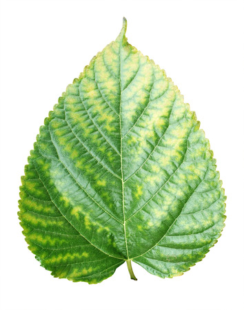 Beautiful lush green leaf Isolated on white background, Mulberry leaf
