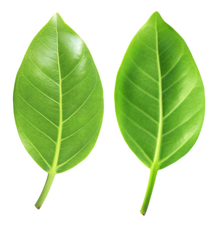 Beautiful lush green leaf Isolated on white background, Green leaf Stock Photo