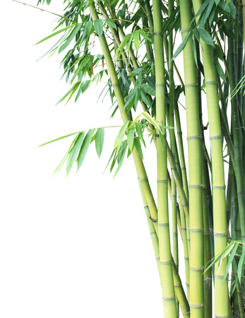 Bamboo tree, Bamboo green forest on white background
