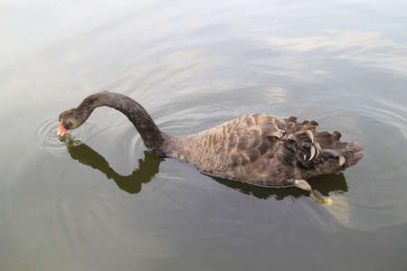 Black swan swimming, swan swimming in the lake Action are foragin.