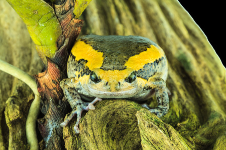bullfrog: Bullfrog is reptiles feed on insects for food. Stock Photo
