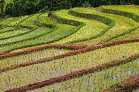 rice fields: The rice fields on highland in Thailand.