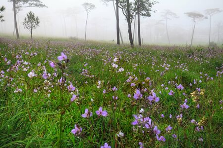br: Murdannia giganteum (Vahl.) Br. beautiful flowers of rain season in Phusoidao national park Thailand.