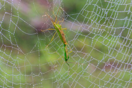 The grasshopper on copweb and dewdrop.