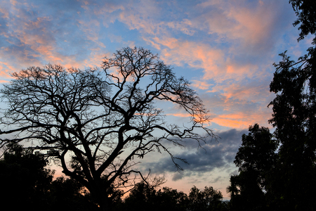 The dead tree  on sunset background. Stock Photo