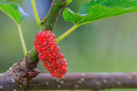 Red mulberry in the garden.