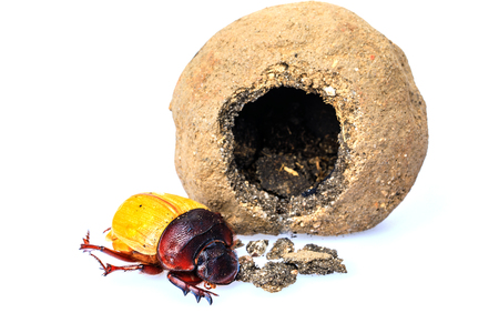 A baby scarab beetle get out the clay nest isolated on white background.