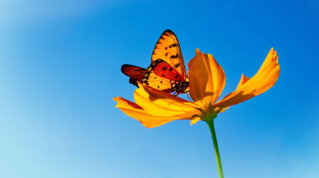 Yellow Cosmos and Butterfly photo
