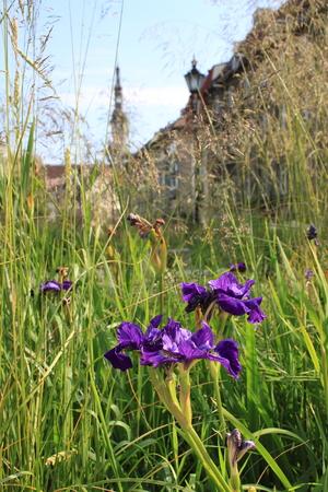 Beautiful Iris flowers in summer Tallinn old town city center. Estonia, Baltic states. Europe tourist attractions. Stok Fotoğraf