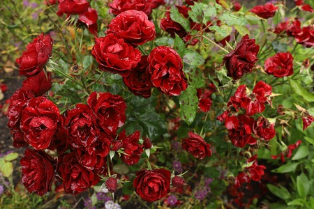 Beautiful blood red roses in the garden on a rainy day. Water flows from the petals. Rain drops like crystals. Rosebush under the rain.