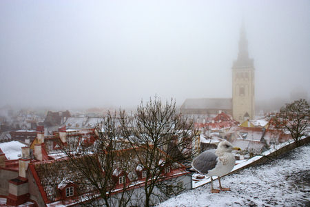 Seagull sits on a wall in front of the famous view of Tallinn old town with St. Nicholas or Niguliste church on a foggy winter day. Landmark of Estonia. Winter fairy tale.