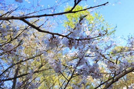 Blooming beautiful spring garden. Branches of a flowering tree. The awakening of nature. Blossoming trees, snowdrop flowers. Sakura, cherry tree, plum tree.