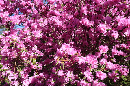 Blooming beautiful pink rhododendron in spring. Flowers, the awakening of nature. Blossoming garden. Stock fotó