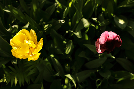 Yellow and purple tulip flowers on a dark background of green leaves. Blooming spring garden, sunlight and shadow.