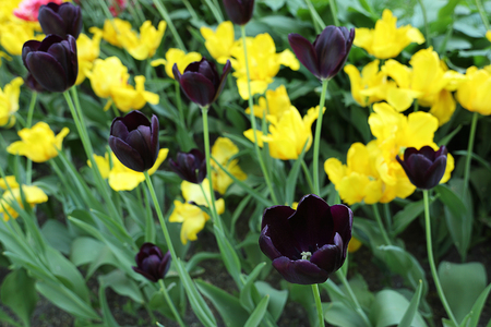 Colorful dark purple and yellow tulip flowers. Blooming flower bed in the spring garden.