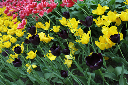 Colorful yellow, pink and dark purple tulip flowers. Blooming flower bed in the spring garden.