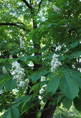 Blooming chestnut tree in the pring park. Green leaves, flowers, nature.