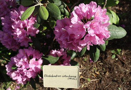 Blooming beautiful pink rhododendron flowers in the botanical garden with a latin name plate. Spring flowers, awakening of nature, lossoming. Botany, floriculture, gardening. Stock fotó