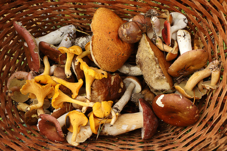 Basket full of forest mushrooms. Boletus, chanterelles, russula, scaber stalk, birch bolete mushroom. Late summer and autumn nature. Travels in the woods.