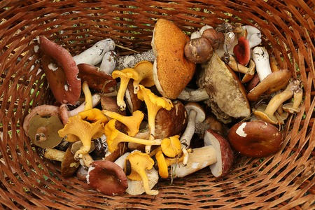 Basket with forest mushrooms. Boletus, chanterelles, russula, scaber stalk, birch bolete mushroom. Late summer and autumn nature. Travels in the woods. Stock fotó