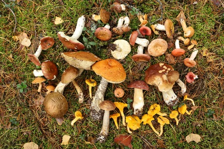Edible mushrooms on forest moss with fallen leaves and berries. Boletus, chanterelles, russula, scaber stalk, birch bolete mushroom. Late summer and autumn nature. Travels in the woods.