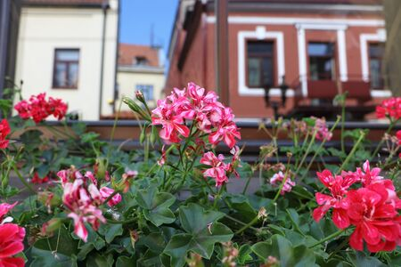 Geranium flowerpot on the windowsill in Kaunas old town with a reflection of houses in the window. Eastern Europe, Baltic states, tourism, landmark, historical architecture, sunny day.