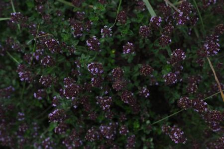Thyme flowers in the forest. Summer meadow. Romantic dark violet floral background. Medicinal herbs close up.