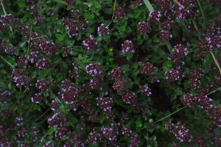 Thyme flowers in the forest. Summer meadow. Romantic dark violet floral background. Medicinal herbs. Stock fotó