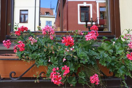 Geranium flowerpot on the windowsill in Kaunas old town with a reflection of houses in the window. Eastern Europe, Baltic states, tourism, landmark, historical architecture, sunny day. Retro atmosphere.