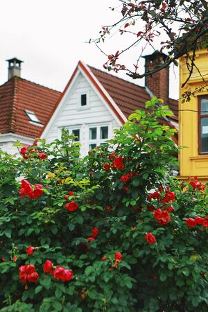 Red roses and traditional wooden houses with tiled roofs in Bergen, Norway.