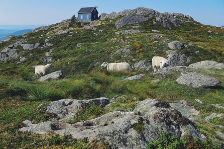 Sheeps graze on the slope of Mount Ulriken. Beautiful Norwegian landscape, skyline, mountains, rocks, traditional wooden house, hiking route. Landmark of Bergen, Norway. Stock fotó