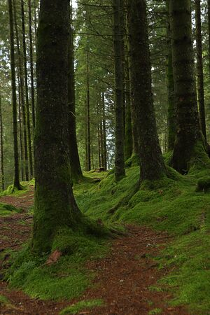 Fir trees on a moss covered slope in the forest on Mount Floyen. Bergen, Hordaland, Norway. Northern woods. Stock fotó