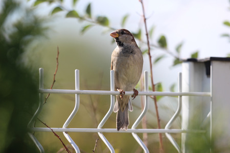 Wild Sparrow on Fence, Domestic House