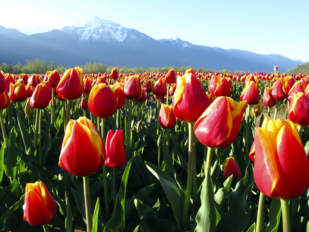Cultivated tulip field during the Agassiz Tulip Festival in the Fraser Valley near Chilliwack, British Columbia, Canada.