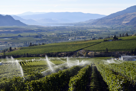Irrigation sprinkler in organic vineyard located in Osoyoos, British Columbia, Canada. Osoyoos is located at the lower end of the Okanagan Valley and is well known for its agriculture, vineyards and wineries. Stock Photo