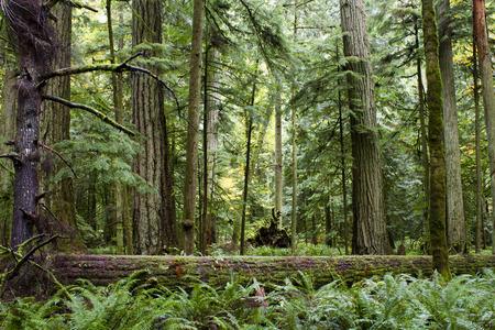 マクミラン州立公園は、カナダ、ブリティッシュ コロンビアのバンクーバーの島の州立公園です。公園は大聖堂グローブとして知られている古代の 写真素材
