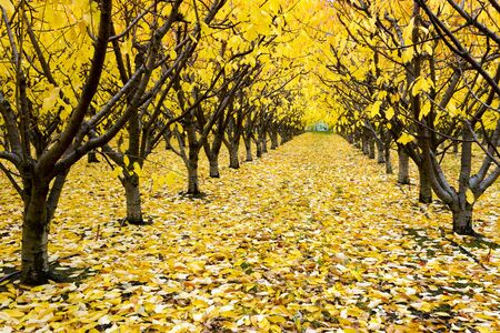 Organic cherry orchard with fall colors during the autumn season in the Okanagan Valley, British Columbia, Canada.