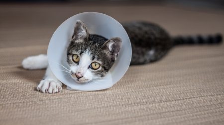 Siamese cat in a cone lie leisurely on a mat Stockfoto