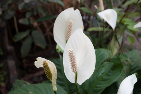 Beautiful white spathiphyllum flower Peace Lily  in garden Stock Photo