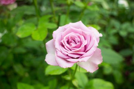 poetic: Violet rose bush in the garden, stock photo