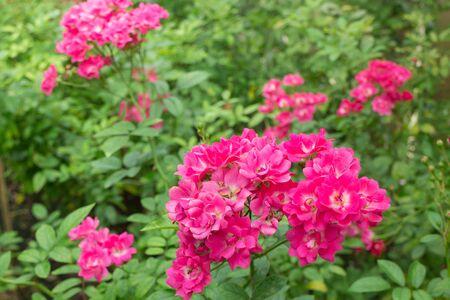 poetic: Pink roses bush in the garden, stock photo Stock Photo