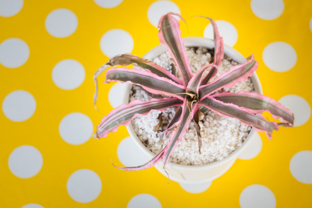 Pink Leaves plant in pot on yellow dot table, stock photo