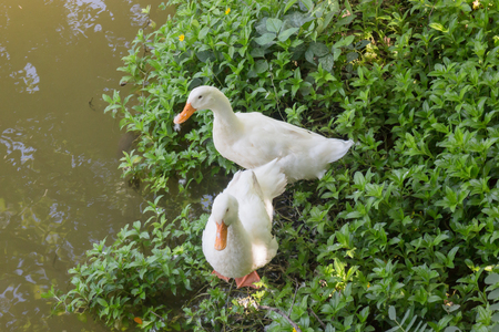 Double geese beside of water lake, stock photo