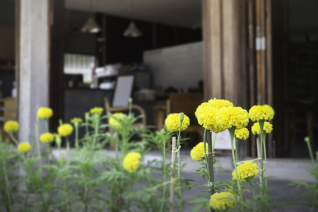 Marigold flowers in front of home garden, stock photo