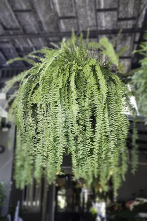 Fern hanging decorated the place, stock photo Standard-Bild