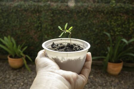 Young pomegranate plant in recycle container, stock phot Standard-Bild